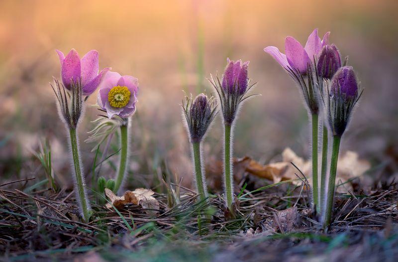 сон-трава Красота под ногами 2photo preview