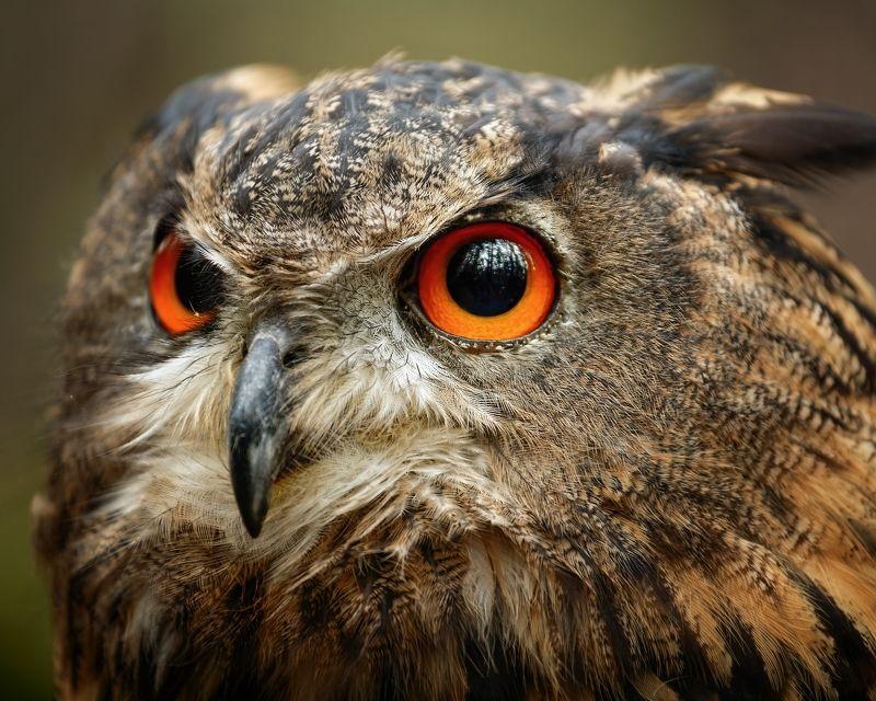 eagl owl, bird, detail, owl eyes Eagle Owlphoto preview
