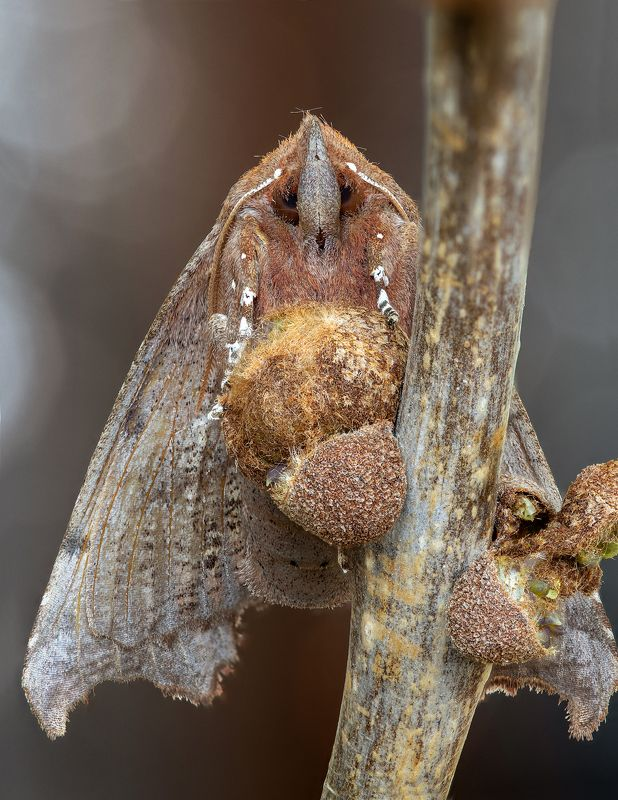 Совка зубчатокрылаяphoto preview