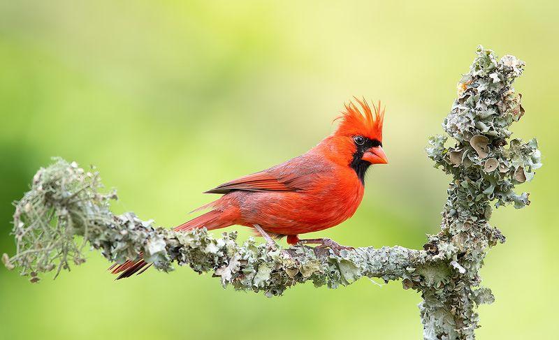 красный кардинал, northern cardinal, cardinal,кардинал Male. Northern Cardinal  - Красный кардинал самецphoto preview