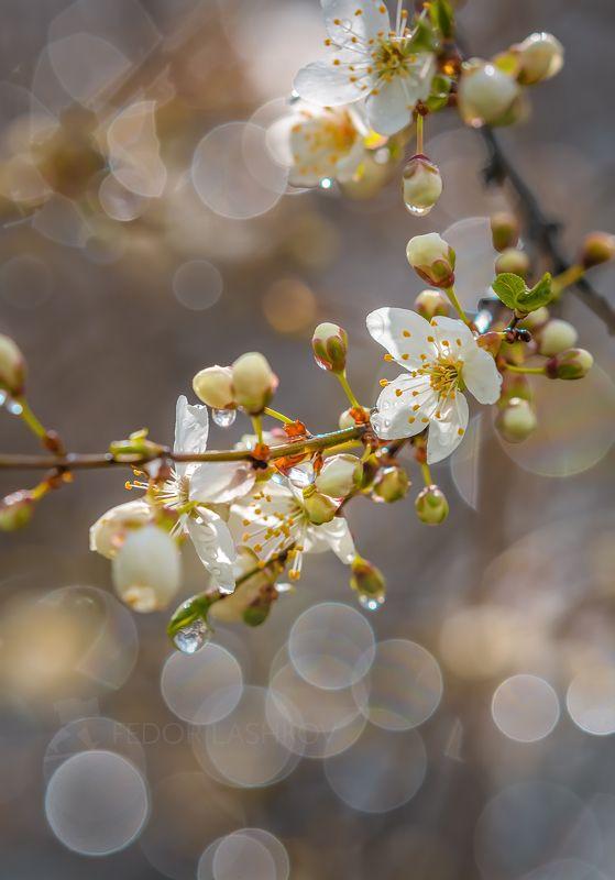 ставропольский край, ставрополье, весна, цветущее, алыча, цветки, фруктовое, после дождя, капли, макро, солнце, светлое, чистое, нужное, дождь, солнечно, Разговор с солнцемphoto preview