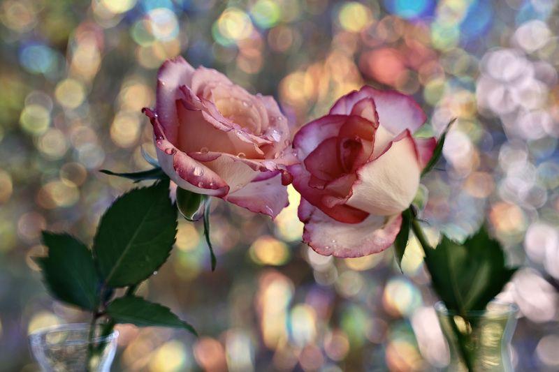 Macro, flora, flowers, colors, Spring, rose, pink, ranunculus, purple, sun star, orange, lily of Incas, bokeh,  Весеннее настроениеphoto preview
