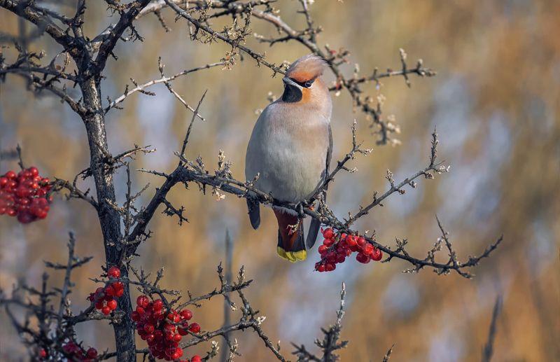 птица, свиристель, зима, облепиха красная, Свиристель ..  (февраль)photo preview