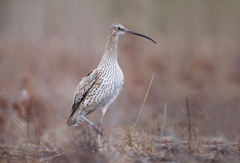 кроншнеп, птица, животные, nature, природа Большой Кроншнепphoto preview