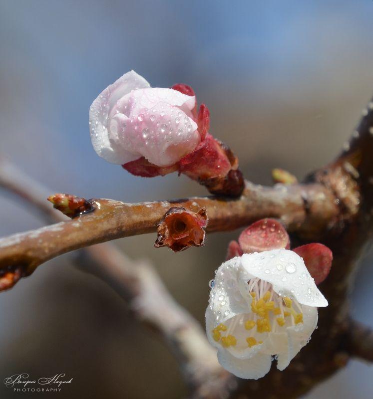 апрель .утро, абрикос. цветение, роса В утреней росе фото превью