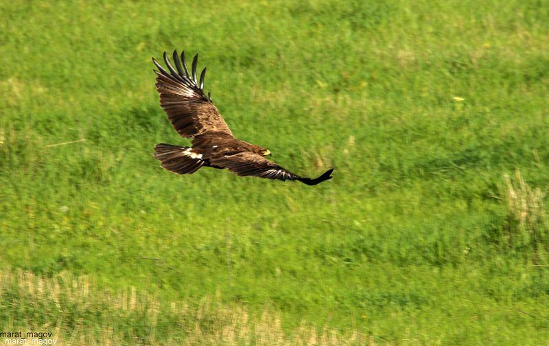 орёл,птица,хищная птица,горы.дагестан, ***photo preview