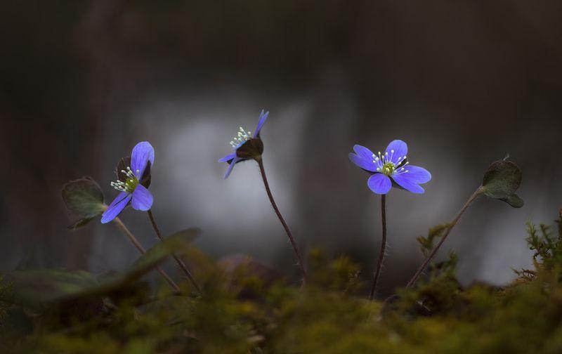 макро,природа,цветы,флора,весна,подснежники,печоночница хепатика, Три грацииphoto preview