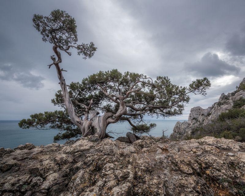 природа, пейзаж, деревья, Крым, Россия, можжевельник, Караул-оба Крымский бонсайphoto preview