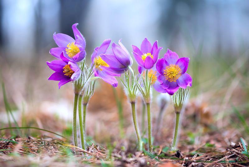 сон-трава Весеннее великолепиеphoto preview