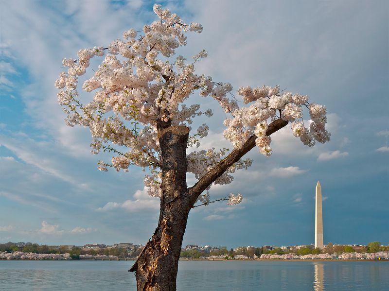 миламиронова, весна, цветение, сакура, вишня, отражение, город, монумент, дерево, ветви Жажда жизни...photo preview