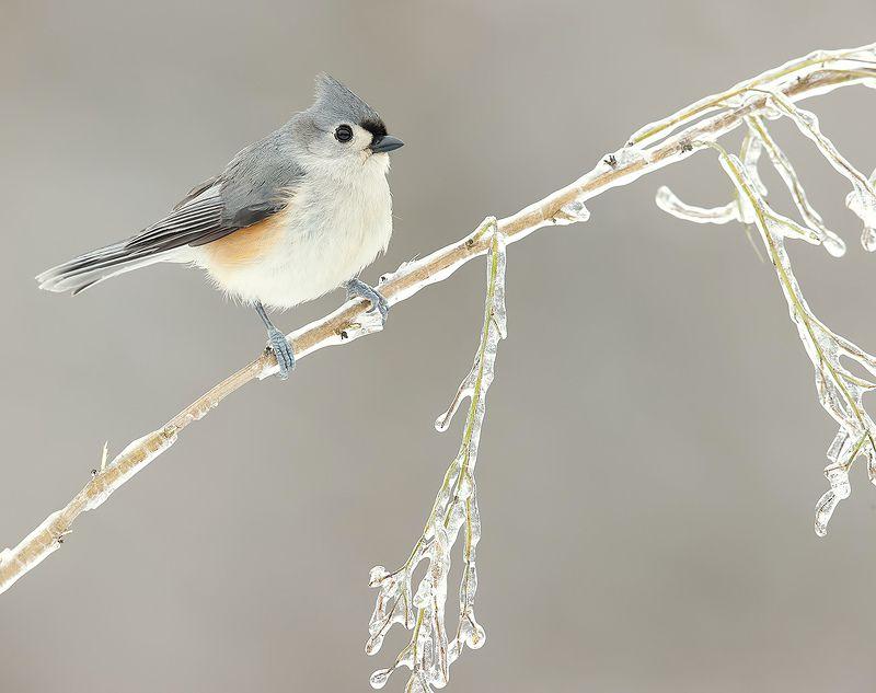 tufted titmouse, острохохлая синица,  синица,  titmouse, птицы на снегу Tufted Titmouse -Острохохлая синицаphoto preview