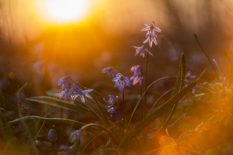 пролески, подснежники, весенние цветы ***photo preview