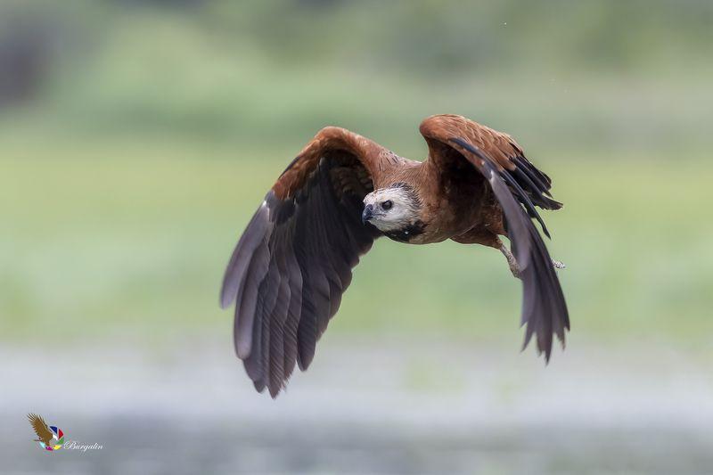 Black-collared Hawkphoto preview
