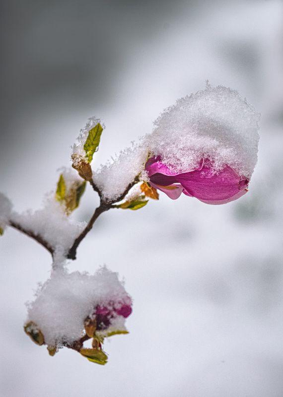 природа, макро, весна, цветы, магнолия, сюрпризы погоды, снег 22 апреля 2021г.photo preview