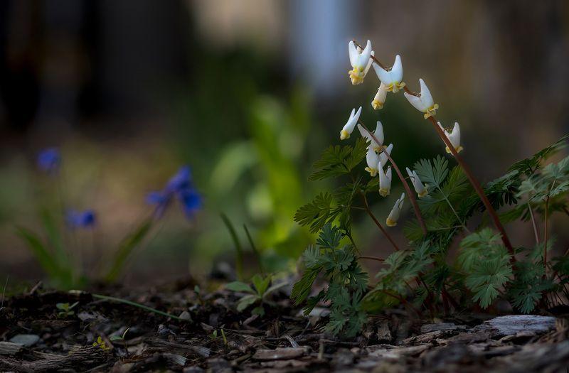 макро,цветы,весна,природа,флора, Цветок дантистаphoto preview