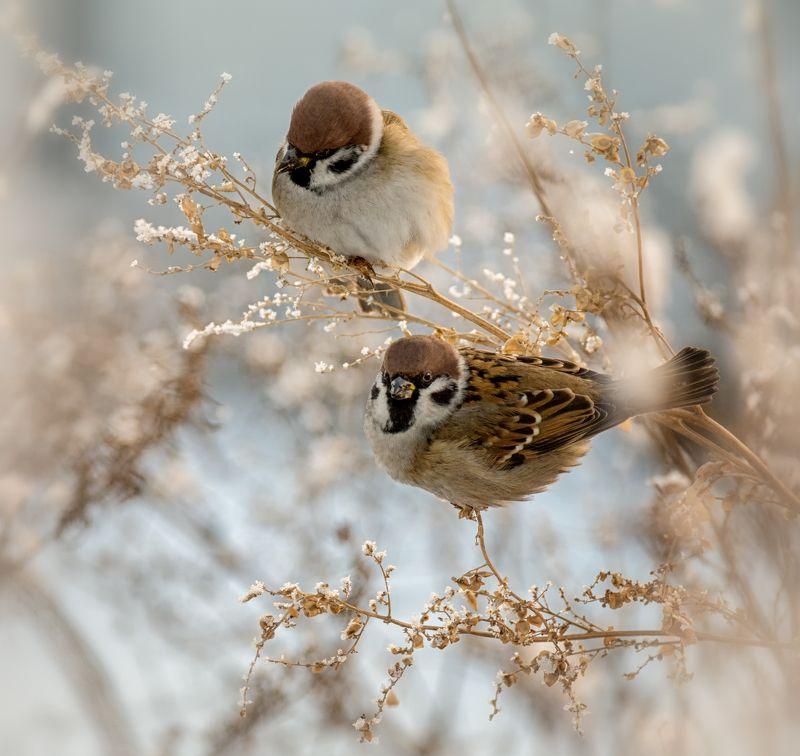 птица, воробей, воробушки..photo preview