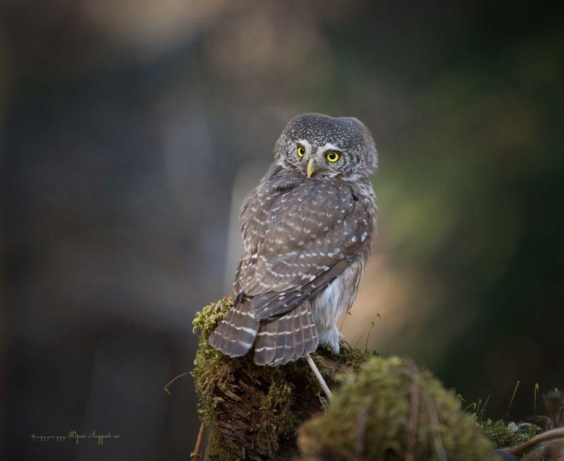 воробьиный сыч, сыч-воробей,  eurasian pygmy-owl, сова, птица, взгляд, Маленький, но грозный хищник...photo preview