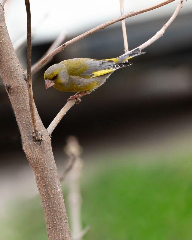 зеленушка Зеленушкина веснаphoto preview