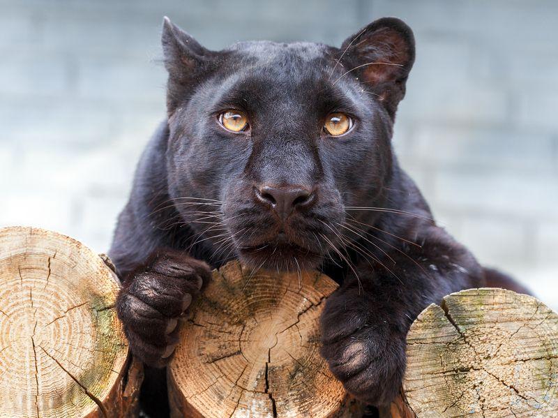 леопард Леопардphoto preview