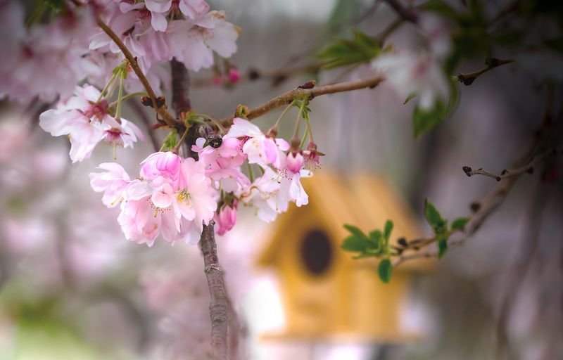 природа,цветы,весна,скворечник,сакура, Апрель.photo preview