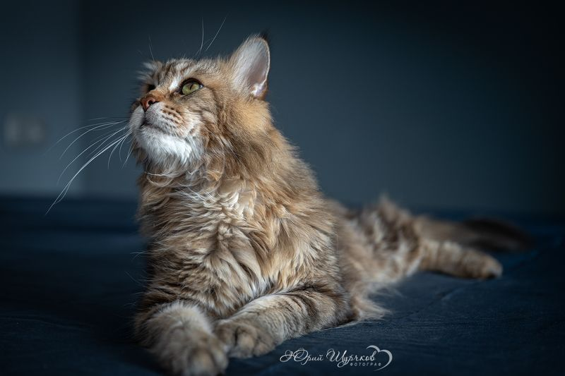кошки, мейнкун Кошачьи мечтыphoto preview