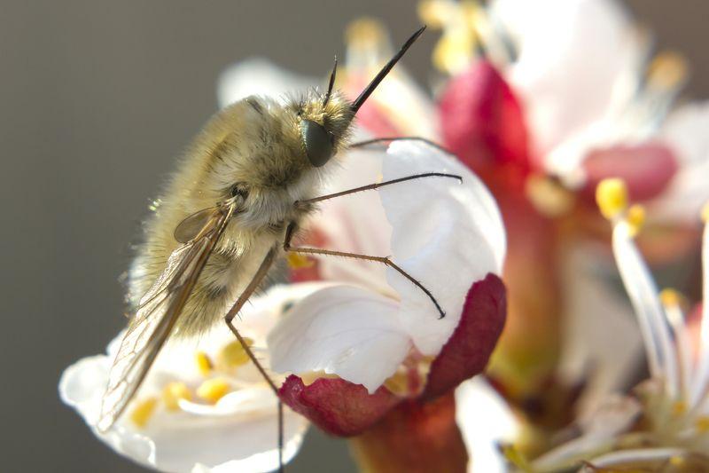 Жужжала на цветке абрикоса (серия)photo preview