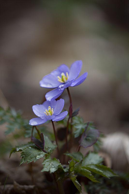 апрель лес владивосток пригород Джефферсония фото превью