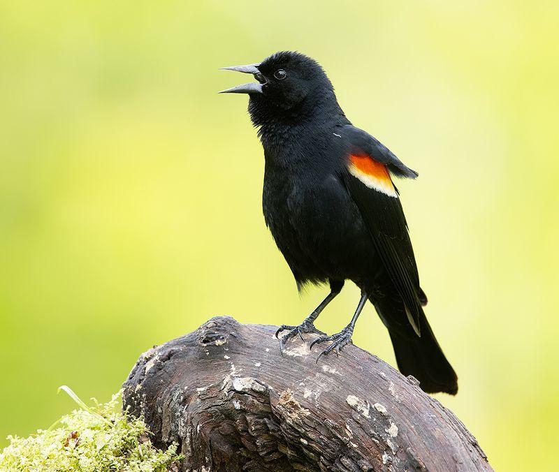 красноплечий чёрный трупиал, red-winged blackbird, трупиал, blackbird Красноплечий чёрный трупиал - Red-winged Blackbirdphoto preview