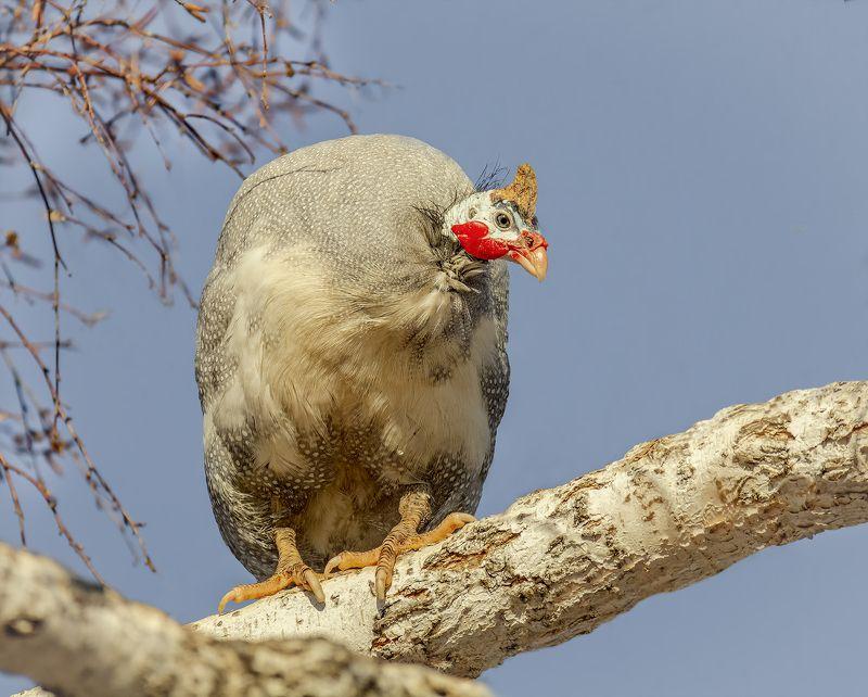 птица, цесарка, берёзы, цесарки на берёзах..photo preview