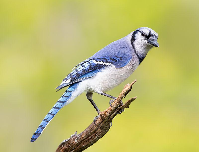 голубая сойка, blue jay, сойка, jay, весна Blue Jay - Голубая сойкаphoto preview