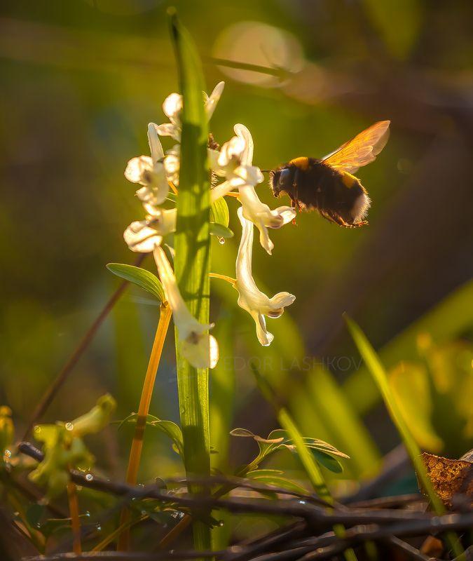 Ставропольский край, цветы, природа, флора, хохлатка, цветок, первоцветы, в лесу, весна, насекомые, шмель, рассвет,  Шмельphoto preview