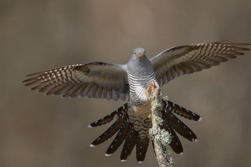 cuckoo, birds, animals, nature, wildlife, canon, canon 100-400 Cuckoophoto preview
