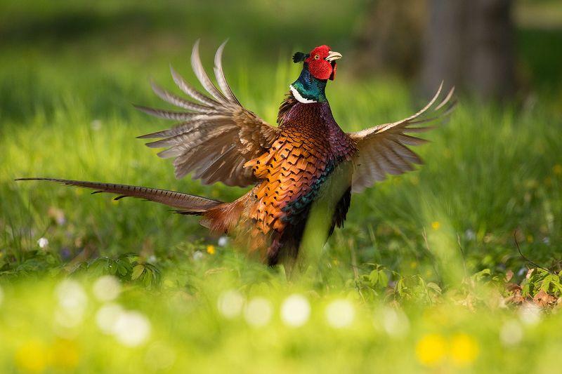 Pheasantphoto preview