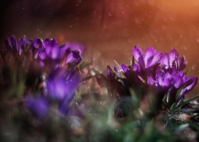 крокус весна цветы боке свет солнце закат красота природа  Весенние крокосу в вечернем светеphoto preview