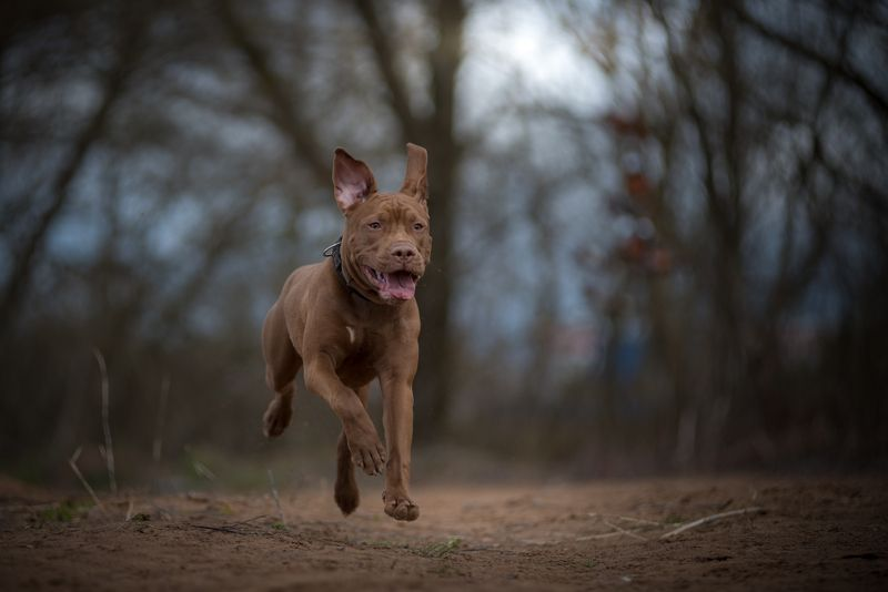 великий новгород, собаки, питбультерьер Ютаphoto preview