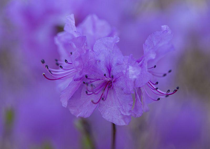 рододенрон  апрель владивосток Сиреневый туман фото превью