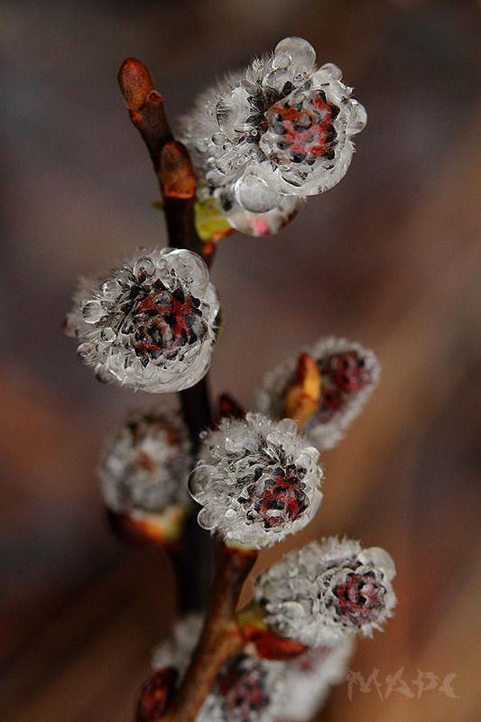 макро верба дождь весна апрель Верба под дождемphoto preview