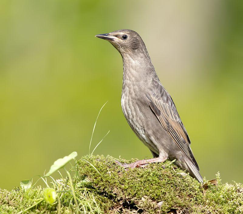 cкворец, european starling,  starling,весна Обыкновенный скворец слетокphoto preview