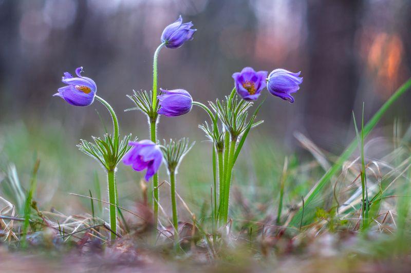 сон-трава, первоцвет, лес, заповедник, весна photo preview