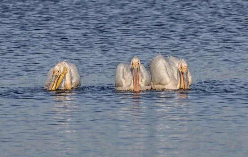 птица, пеликан, озеро, пеликаны розовые ..photo preview