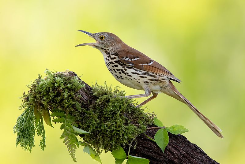 коричневый пересмешник, brown thrasher, пересмешник, весна Коричневый пересмешник -Brown Thrasherphoto preview