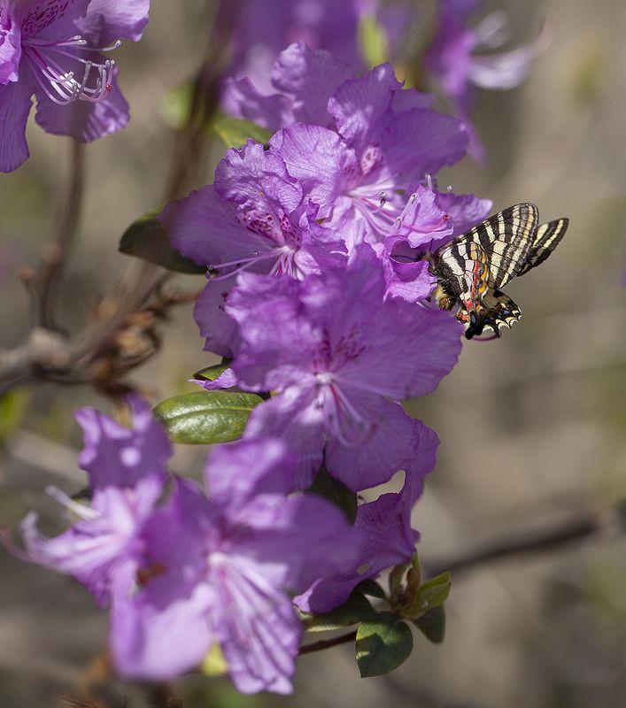 рододендрон бабочка парусник людорфия апрель владивосток Весенняя фото превью