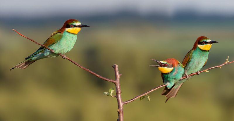 золотистая щурка, птицы, лето, birds, wildlife, bee-eater Третий лишнийphoto preview