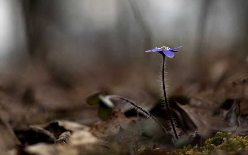 макро,цветы,природа,флора,весна, Одиночествоphoto preview