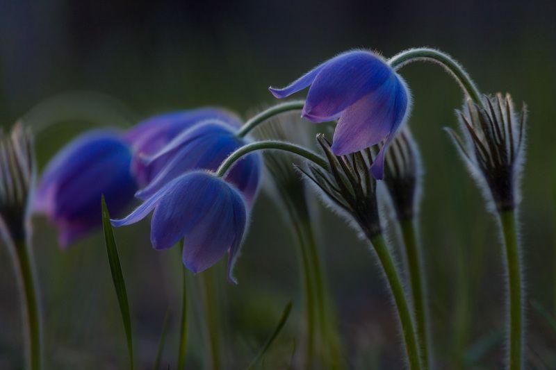 прострел раскрытый, сон-трава, первоцветы, цветы, flowers, primulas, pulsatilla patens Прострелыphoto preview