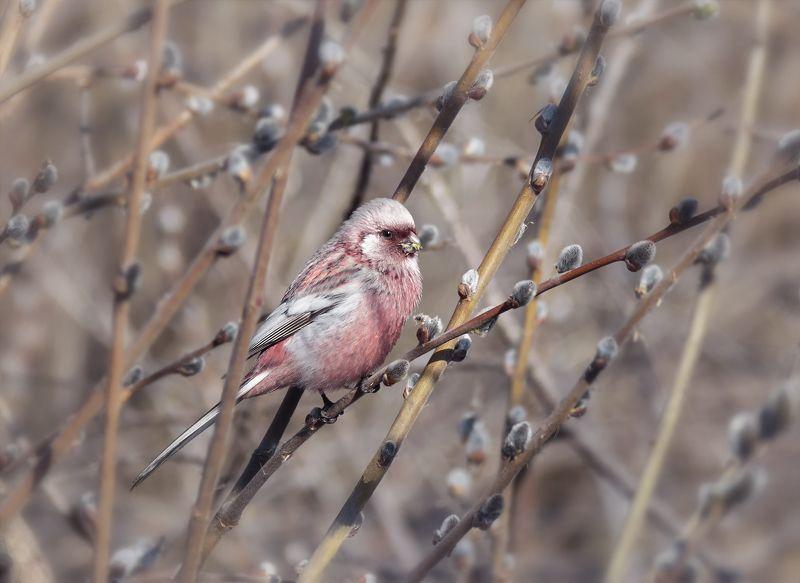птица, урагус, ива, верба, самец, Урагус (самец).photo preview