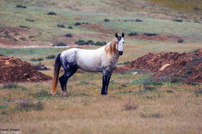 конь,лошадь,вожак,дагестан, Вожак..photo preview