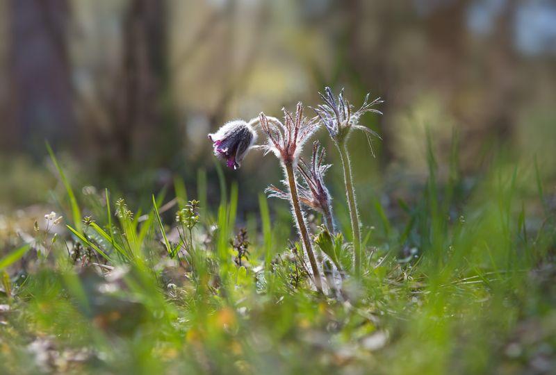 сон-трава Средь мусора и праздной суетыphoto preview