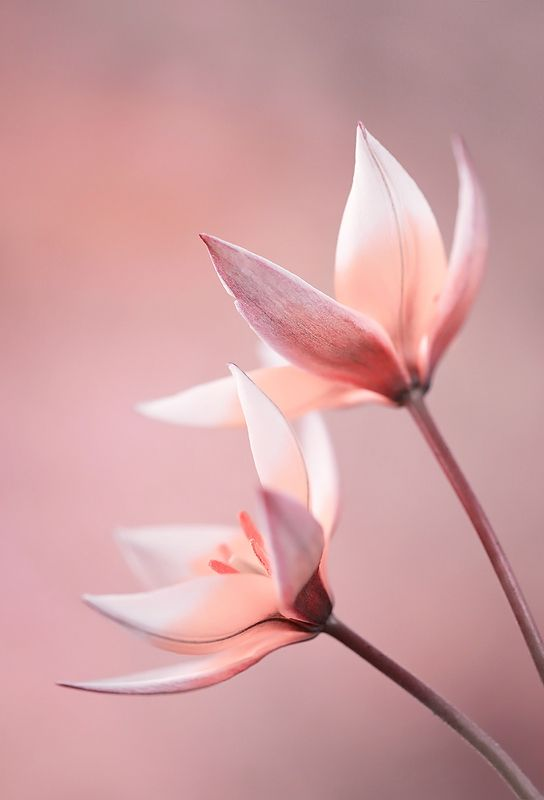 Tulips Tardaphoto preview