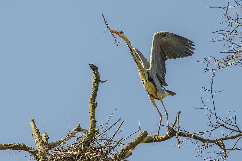 цапля серая, птица Строительный сезонphoto preview